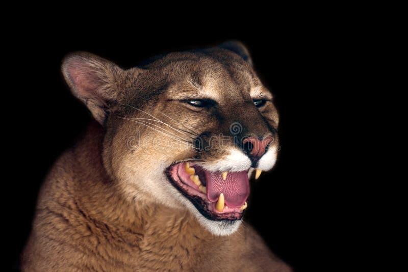 Bello ritratto del puma fotografia stock libera da diritti