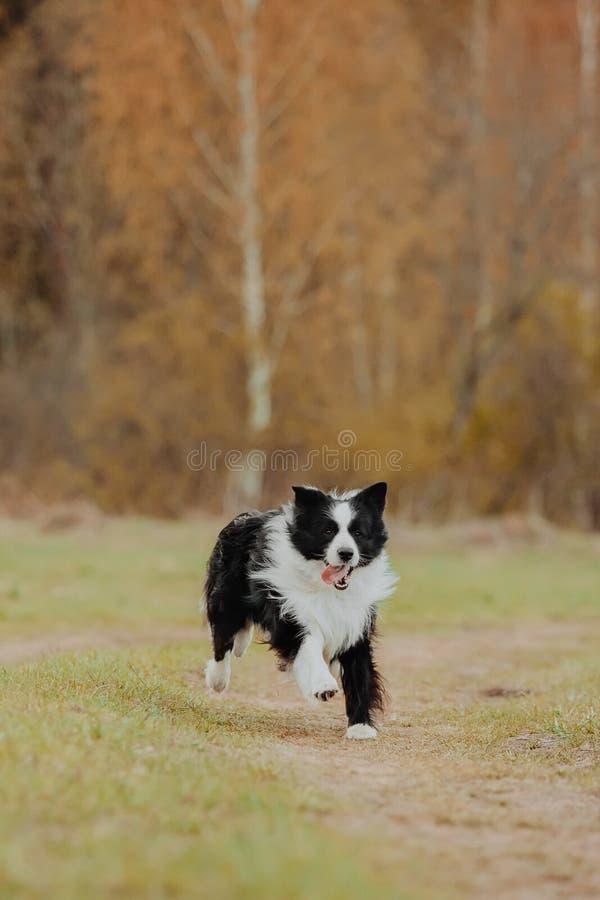 Bello ritratto della molla di border collie in bianco e nero adorabile nel parco sbocciante immagini stock