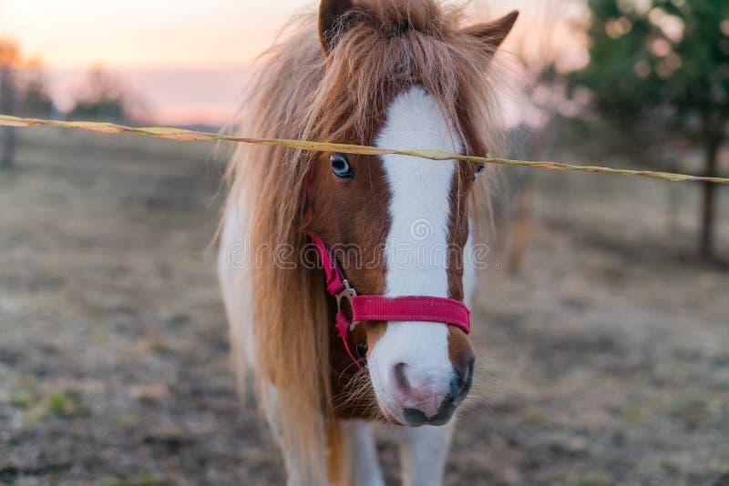 Bello ritratto di razza del cavallo fuori durante il tramonto Amaro lungo del cavallo esaminando la macchina fotografica mentre s fotografia stock libera da diritti