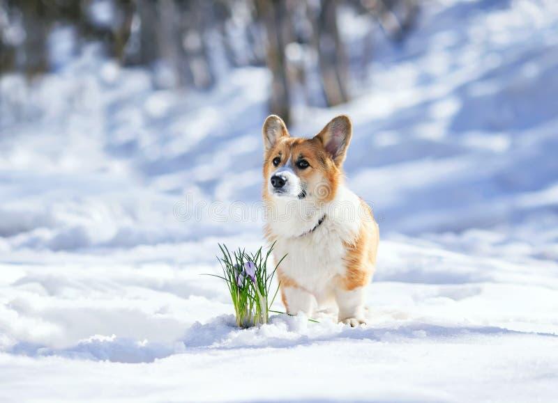 bello ritratto di una condizione rossa sveglia del cucciolo del Corgi nella neve bianca accanto ai croco lilla di fioritura in un fotografia stock
