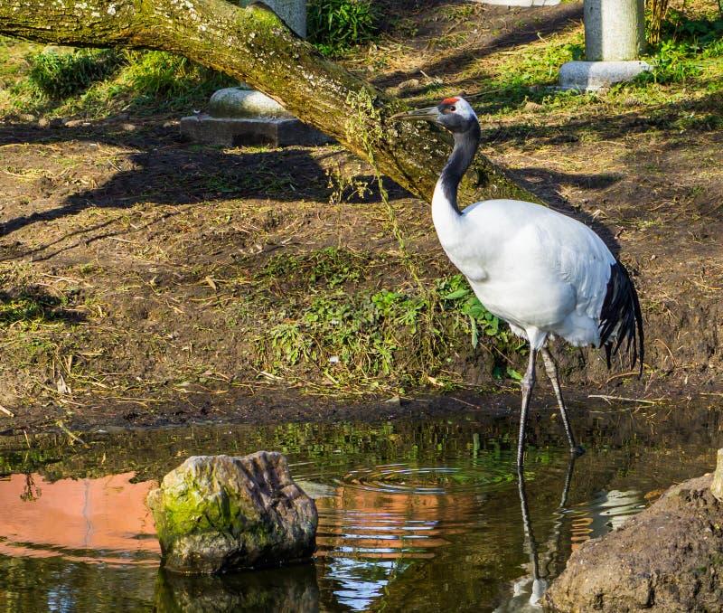 Bello ritratto di una gru giapponese che cammina nell'acqua, specie pericolosa dell'uccello dall'Asia immagine stock libera da diritti