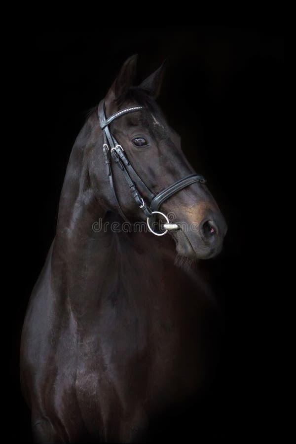 Bello ritratto nero del cavallo immagine stock libera da diritti
