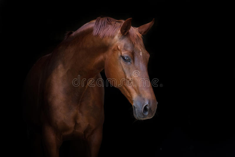 Bello ritratto rosso del cavallo fotografie stock