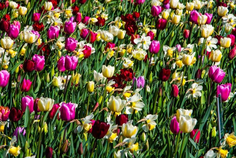 Bello rosa, tulipani bianchi, rossi, gialli in tempo soleggiato in Olanda fotografia stock libera da diritti