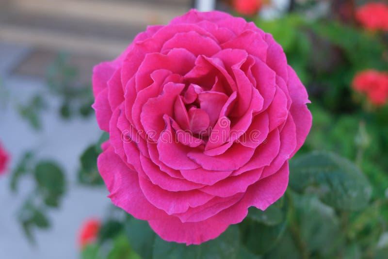 Bello rosa variopinto Rose Flower fotografie stock libere da diritti