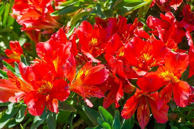 Bello rosso adorabile del giglio di Alstroemeria delle inche nella fine su per fondo ad un giardino botanico fotografia stock libera da diritti