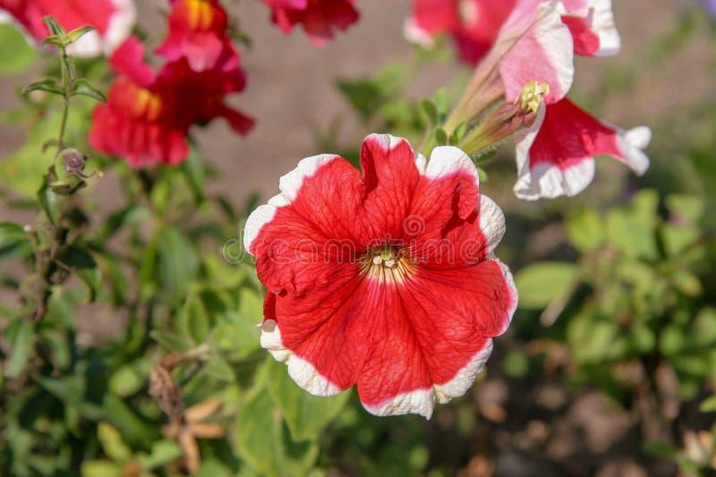Bello rosso di fioritura con il fiore bianco del confine su un fondo vago immagine stock libera da diritti