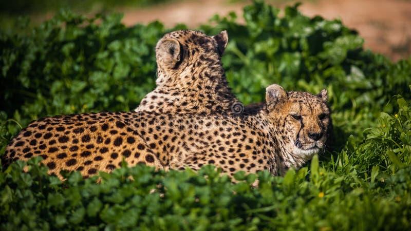 Bello ` s del ghepardo due che riposa e che prende il sole fotografia stock libera da diritti