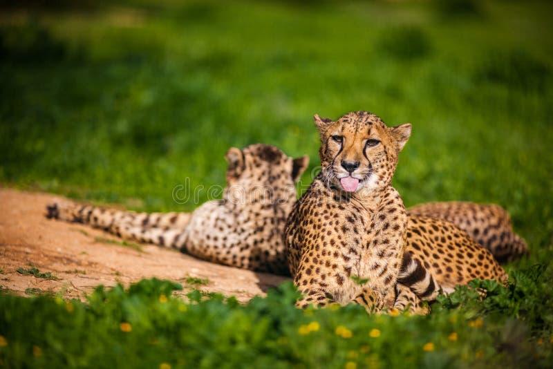 Bello ` s del ghepardo due che riposa e che prende il sole fotografie stock