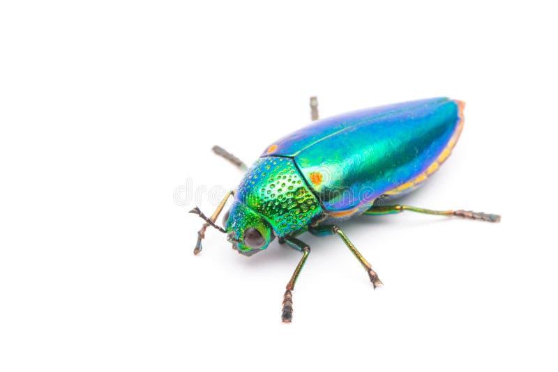 Bello scarabeo del gioiello o vista superiore metallica dell'Legno-alesaggio (Buprestid) immagine stock