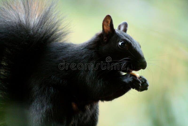 Bello scoiattolo affamato che mangia le nocciole immagine stock
