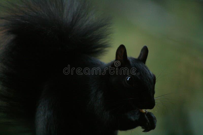 Bello scoiattolo affamato che mangia le nocciole immagini stock libere da diritti