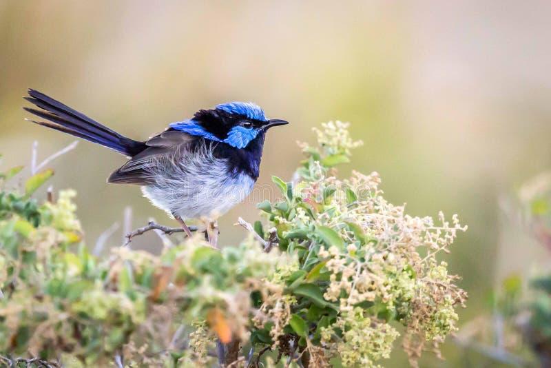Bello scricciolo leggiadramente superbo selvaggio blu del maschio adulto, Sunbury, Victoria, Australia, febbraio 2019 fotografia stock libera da diritti