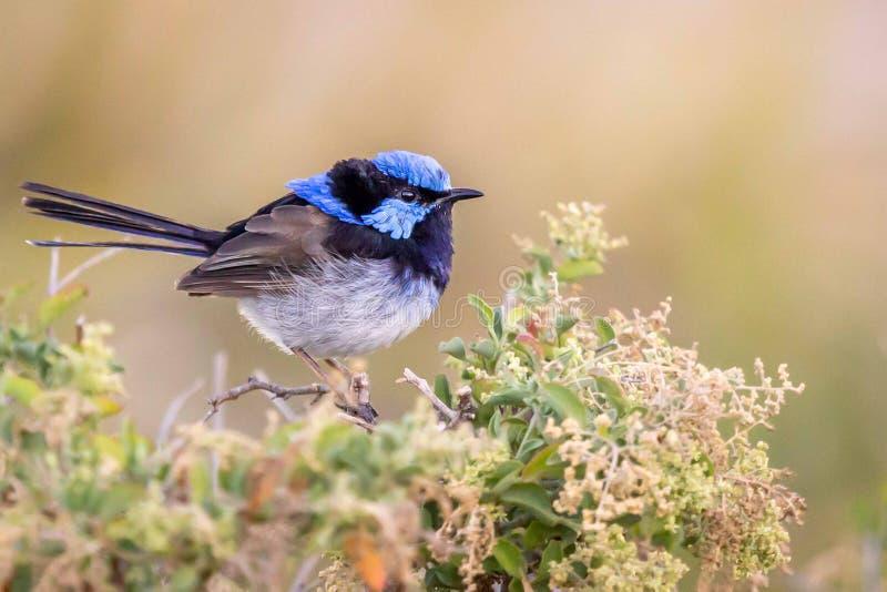 Bello scricciolo leggiadramente superbo selvaggio blu del maschio adulto, Sunbury, Victoria, Australia, febbraio 2019 immagini stock