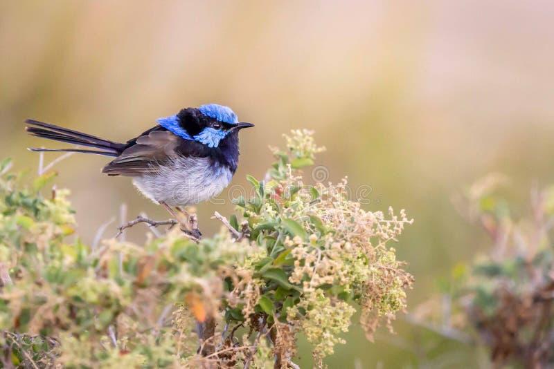 Bello scricciolo leggiadramente superbo selvaggio blu del maschio adulto, Sunbury, Victoria, Australia, febbraio 2019 fotografie stock libere da diritti