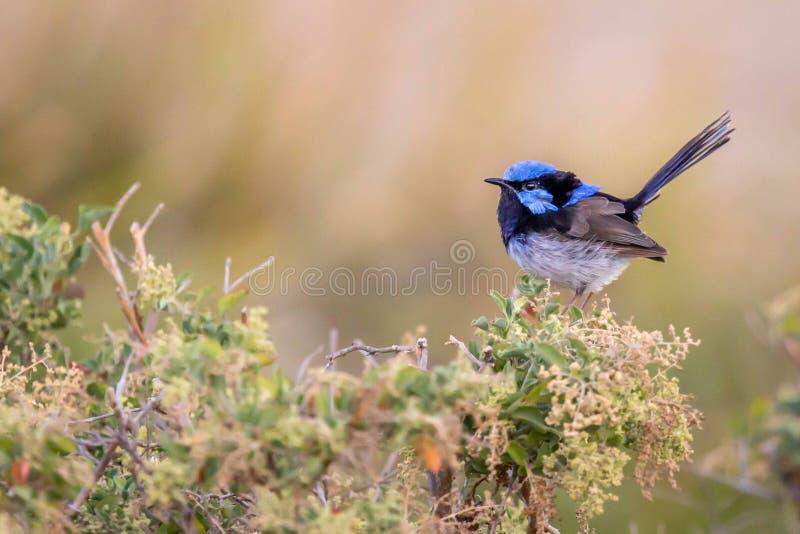 Bello scricciolo leggiadramente superbo selvaggio blu del maschio adulto, Sunbury, Victoria, Australia, febbraio 2019 immagini stock libere da diritti