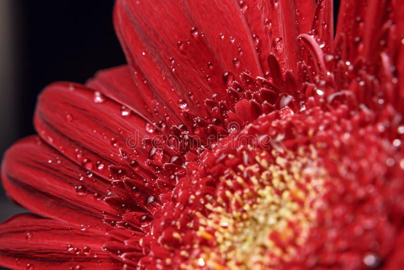 Bello sfondo naturale Estate, concetti della molla Grandi belle gocce di acqua sul fiore rosso fresco di Gerber su fondo scuro fotografia stock