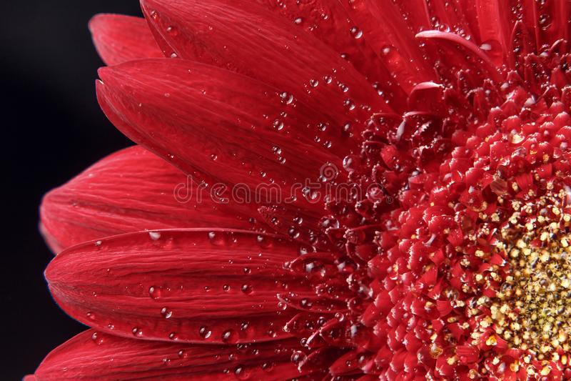 Bello sfondo naturale Estate, concetti della molla Grandi belle gocce di acqua sul fiore rosso fresco di Gerber su fondo scuro immagini stock libere da diritti