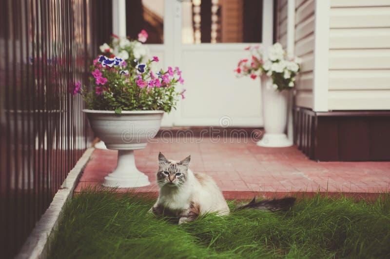Bello siamese con il gatto degli occhi azzurri con un fronte divertente che cammina sull'erba verde immagine stock