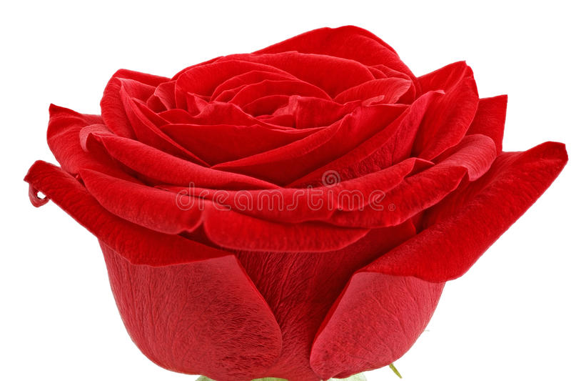 Bello singolo fiore della rosa rossa. Isolato. immagini stock libere da diritti