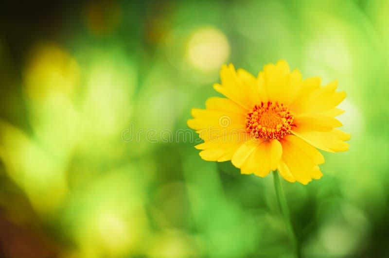Bello singolo piccolo fiore con i petali gialli contro il fondo verde del bokeh Macro scena della natura con luce soleggiata magi immagini stock libere da diritti
