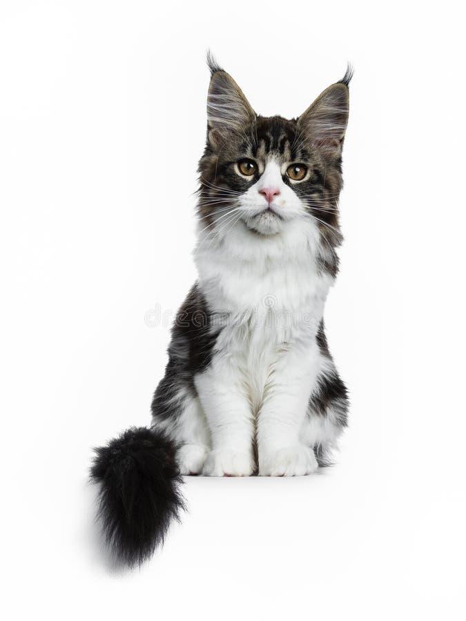 Bello soriano marrone nero con il gattino bianco del gatto di Maine Coon che si siede diritto con la coda accanto al corpo, guard fotografia stock libera da diritti