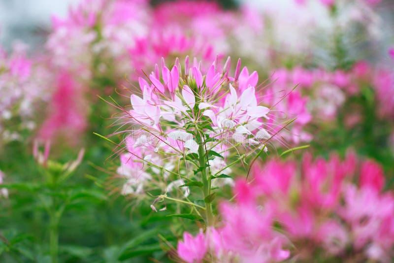 Bello spinosa del Cleome o fiore di ragno nel giardino fotografia stock libera da diritti