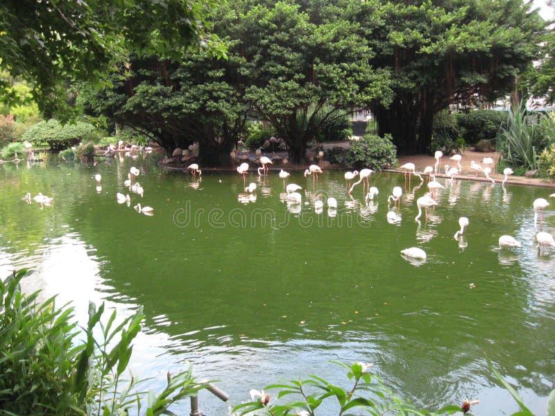 Bello stagno con i fenicotteri nel parco di Kowloon, Hong Kong fotografia stock libera da diritti