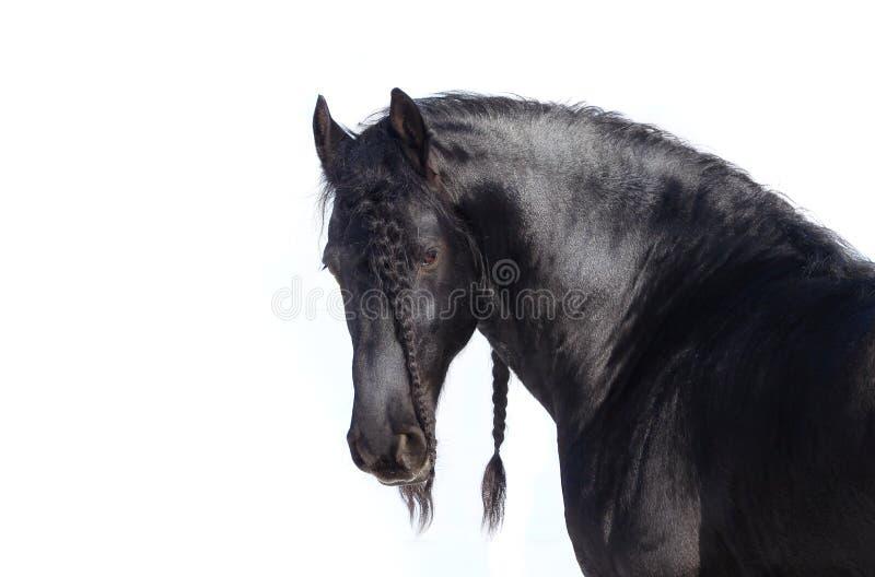 Bello stallion di frisian fotografia stock