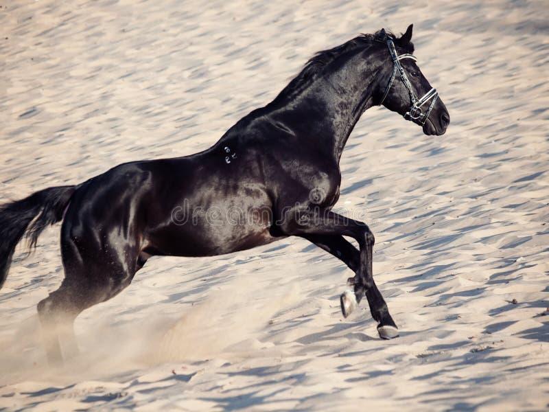 Bello stallone nero corrente nel deserto fotografie stock