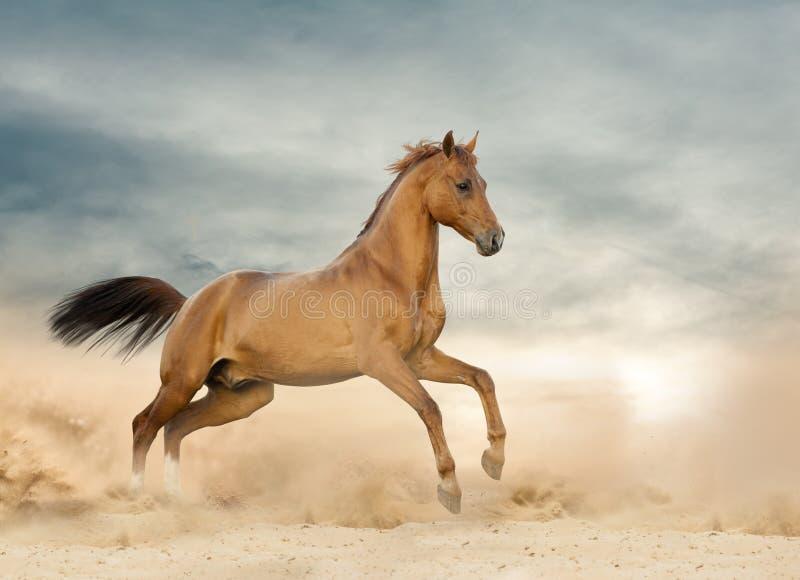 Bello stallone selvaggio che corre su un selvaggio fotografia stock