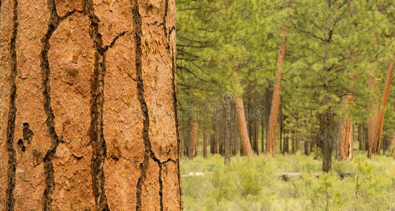 Bello supporto della curvatura Oregon la contea di Deschutes degli alberi fotografia stock