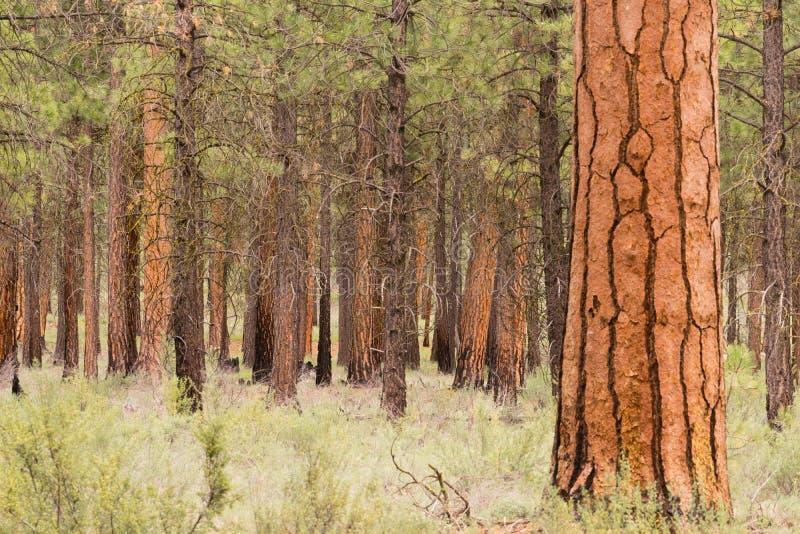 Bello supporto della curvatura Oregon la contea di Deschutes degli alberi immagine stock