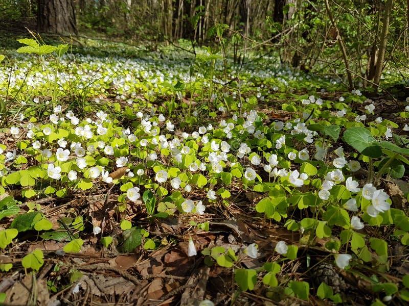 Bello tappeto di piccoli fiori bianchi in abetaia a tempo di molla fotografie stock