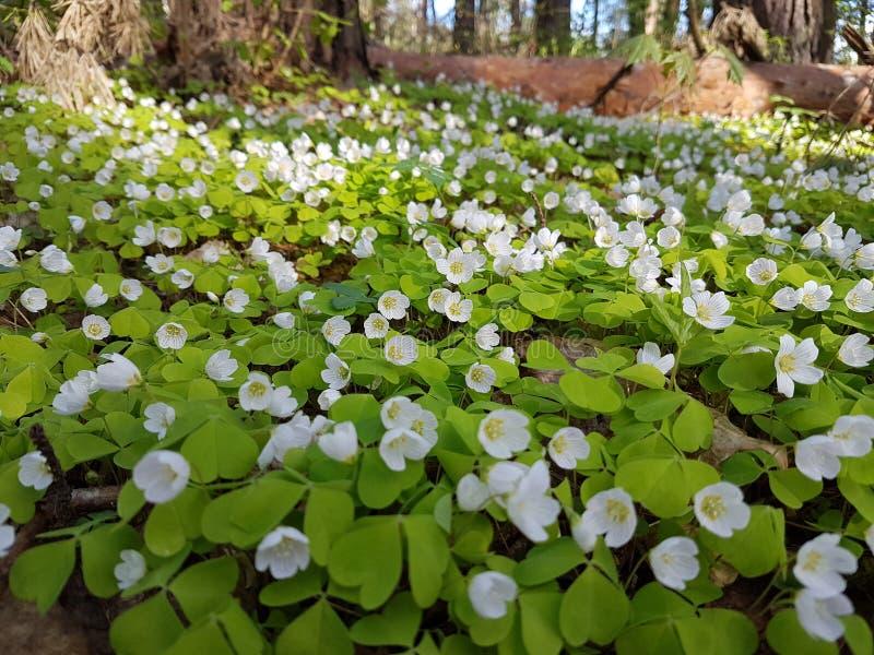 Bello tappeto di piccoli fiori bianchi in abetaia a tempo di molla fotografia stock