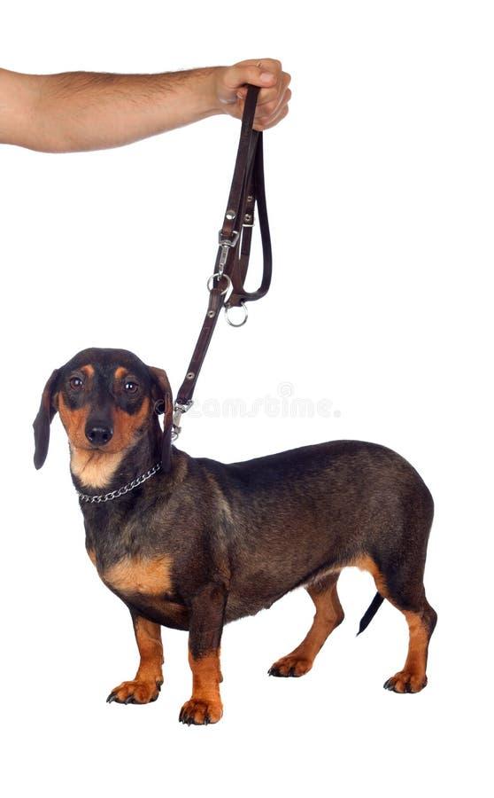 Bello teckel del cane fotografia stock