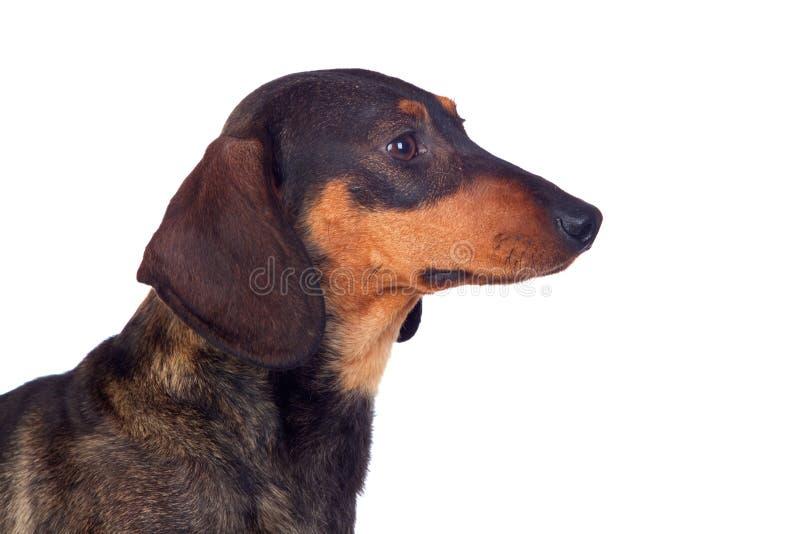 Bello teckel del cane fotografia stock libera da diritti