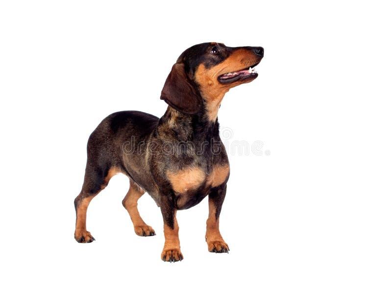 Bello teckel del cane immagine stock libera da diritti
