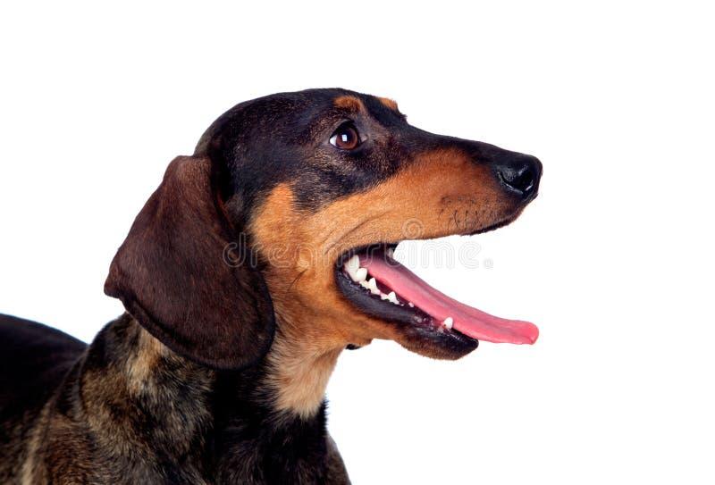 Bello teckel del cane che sbadiglia fotografia stock libera da diritti