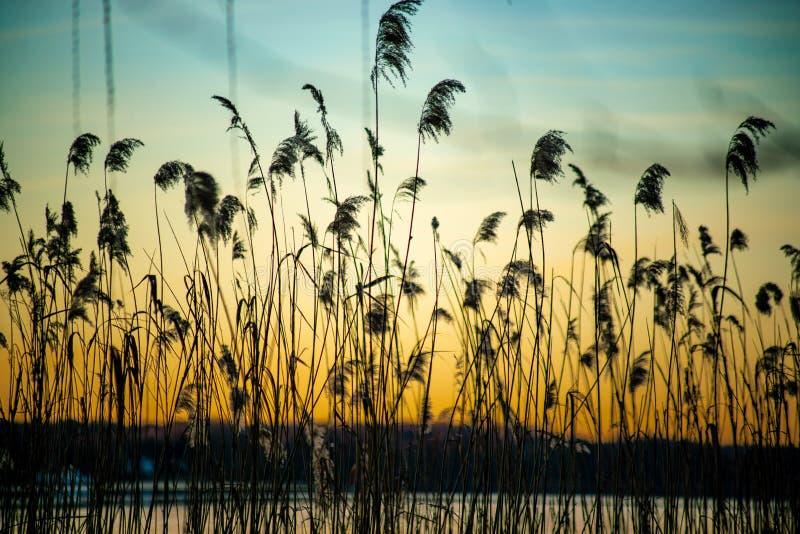 Bello tramonto con le erbe in priorità alta al fiume Havel fotografia stock libera da diritti