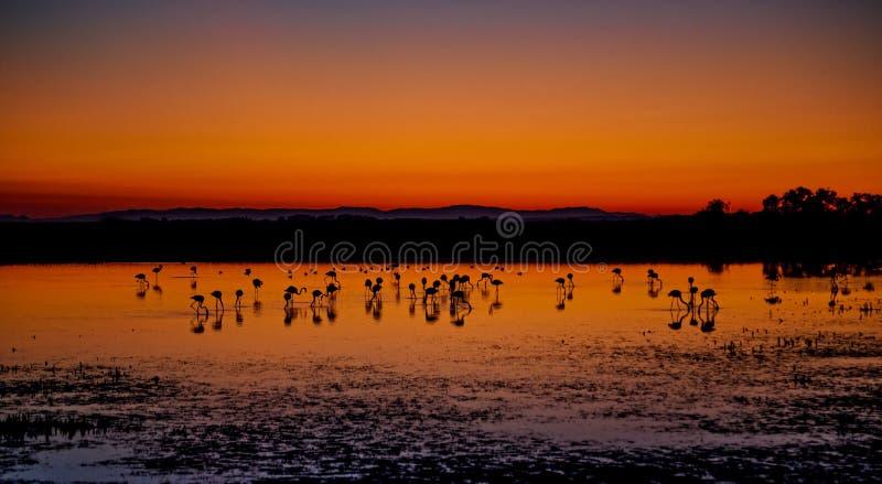 Bello tramonto con le siluette dei fenicotteri immagini stock