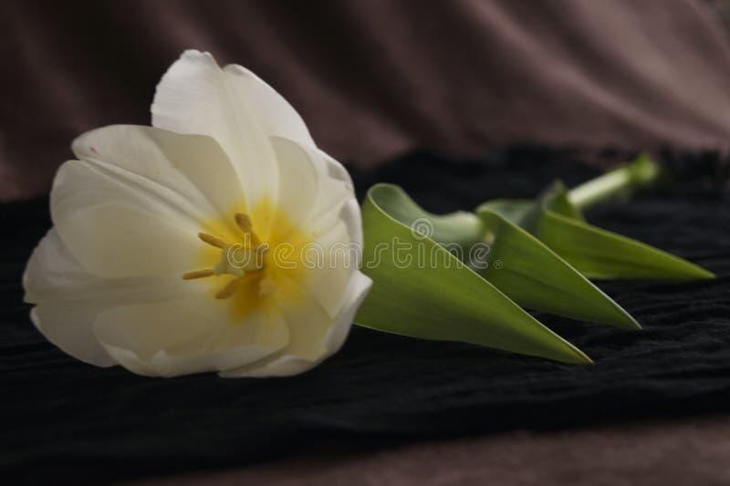 Bello tulipano bianco fotografia stock