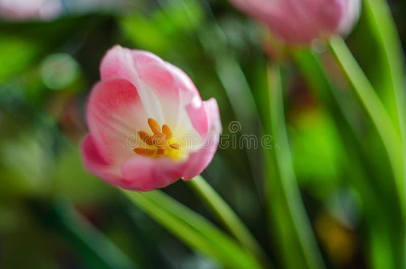 Bello tulipano del fiore della molla immagini stock libere da diritti