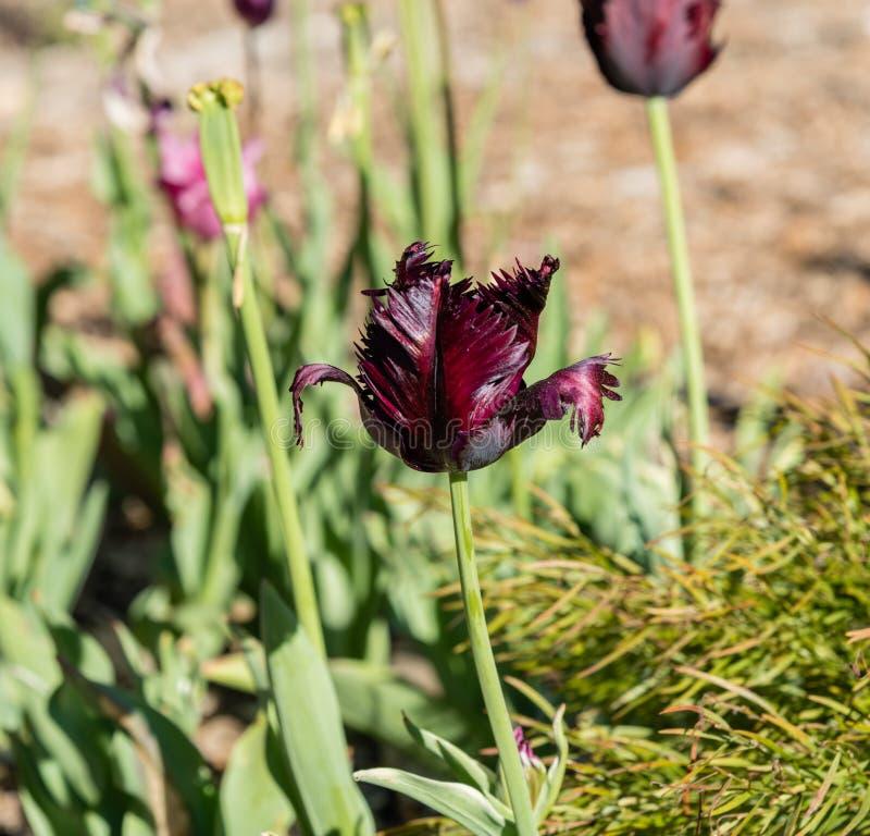 Bello tulipano rosso-acceso del pappagallo nella primavera fotografia stock