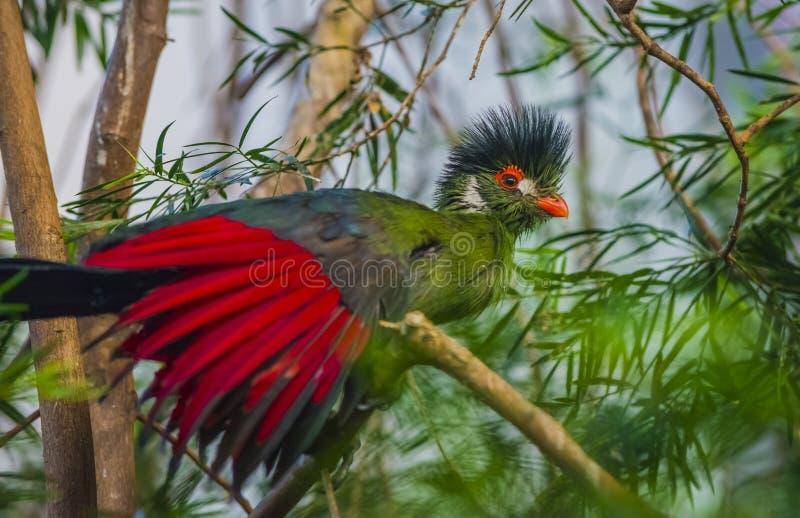 Bello uccello del Turaco immagini stock libere da diritti