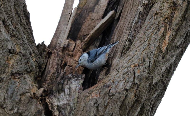 Bello uccello della sitta bianca blu nel Michigan immagini stock