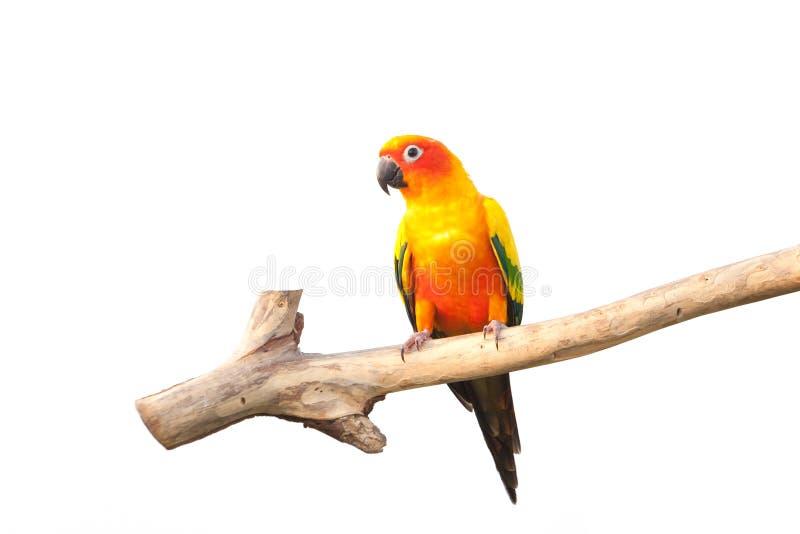 Bello uccello di conuro di Sun che si appollaia su un ramo su bianco fotografia stock libera da diritti