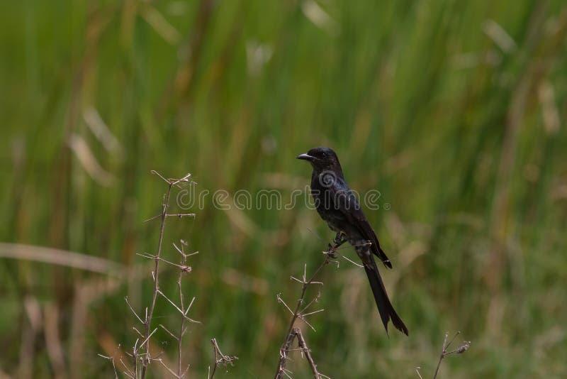 Bello uccello di drongo nero in foresta immagine stock