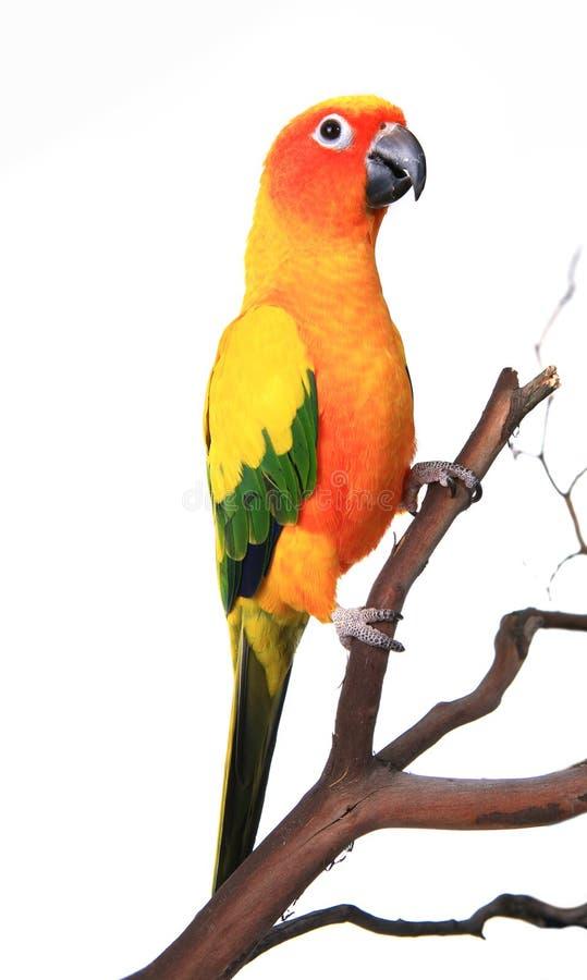 Bello uccello di Sun Conure fotografia stock