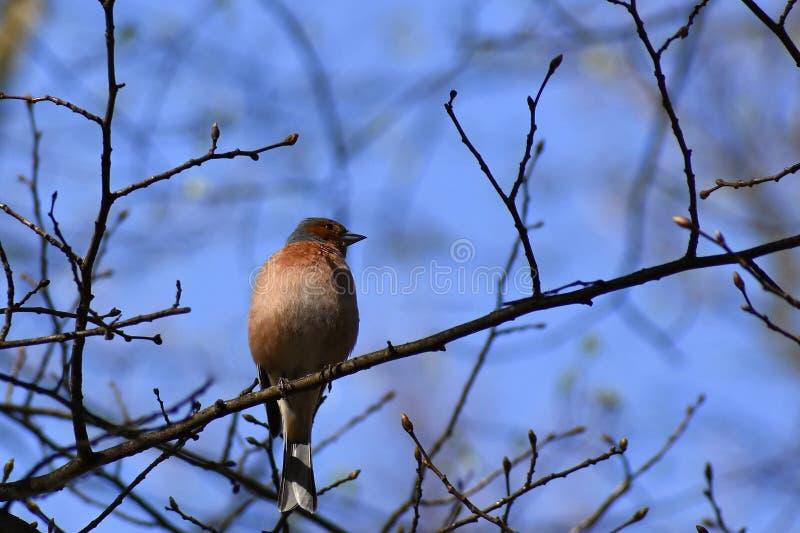 Bello uccello su un ramo di albero in natura nuthatch Sitta euroasiatica immagini stock